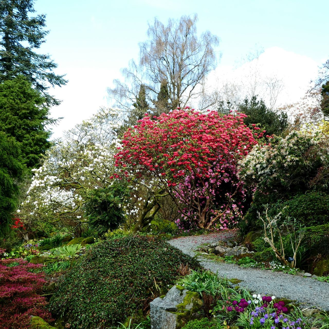 The English country garden in her finest spring 'tutti frutti' colours. Holehird Gardens, The English Lake District. Énglish Country Garden Tutti Frutti Colours Azaleas Camelias Rhododendron Wood Anemone Drumstick Primula Japanese Maple Pathway Growth Tree Outdoors Landscape Tranquility No People Make EyeEm A Troll-Free Zone! EyeEm Nature Lover Rural Scene Simple Quiet Love
