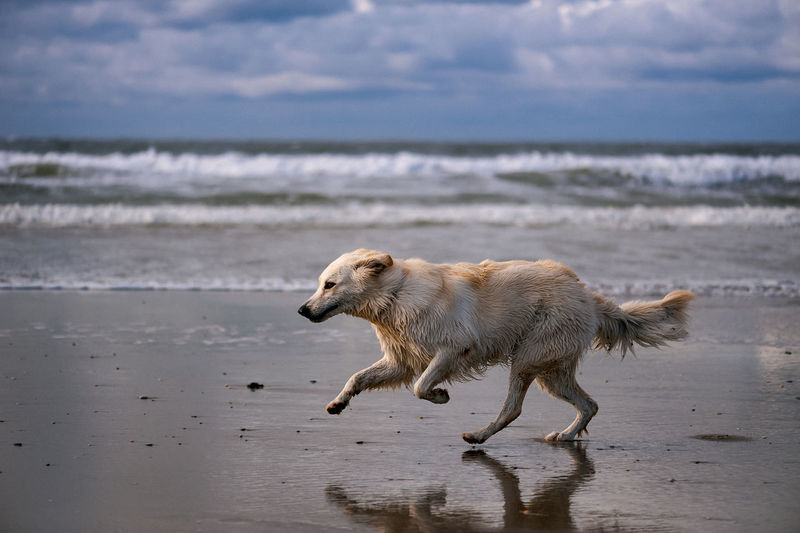 Animal Themes Beach Beauty In Nature Berger Blanc Suisse Day Dog Domestic Animals EyeEmNewHere Full Length Horizon Over Water Mammal Motion Nature No People One Animal Outdoors Pets Running Sand Sea Sky Walking Water Wave