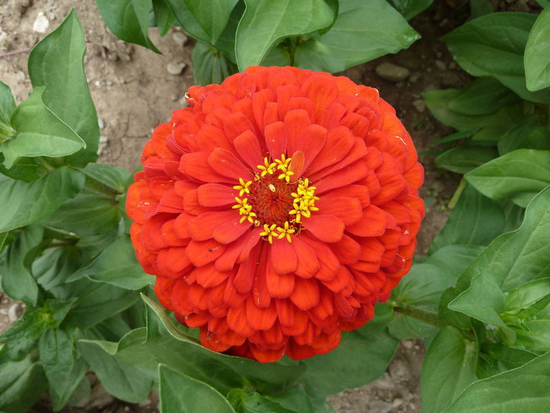 Beauty In Nature Blooming Close-up Day Directly Above Flower Flower Head Fragility Freshness Green Color Growth Leaf Nature No People Orange Color Outdoors Petal Plant Red Zinnia