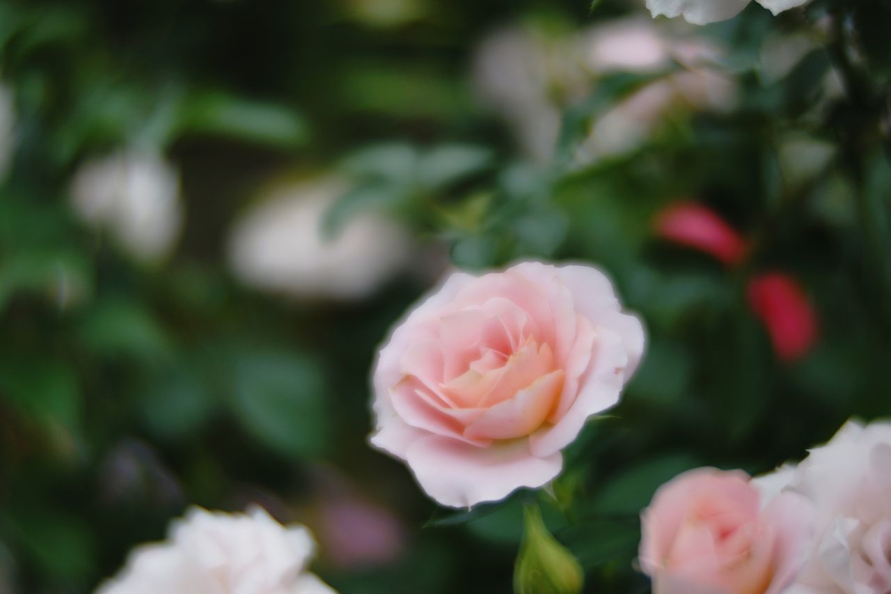 flower, fragility, petal, freshness, flower head, close-up, beauty in nature, growth, pink color, springtime, rose - flower, season, nature, blossom, in bloom, focus on foreground, single flower, botany, plant, selective focus, softness, day, pink, outdoors, bloom, no people, flowering plant, blooming