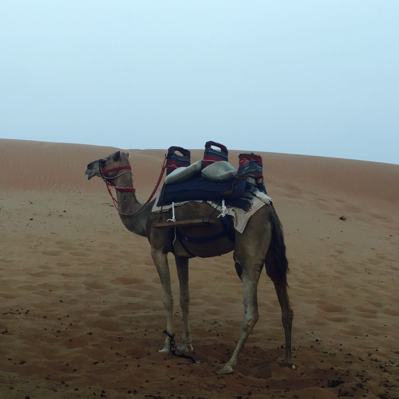 Camel Camel Riding Domestic Animals One Animal Working Animal Livestock Mammal Bridle Herbivorous Vertebrate Horseback Riding Transportation Desert Clear Sky Riding Camel Landscape Saddle Sand Full Length Zoology