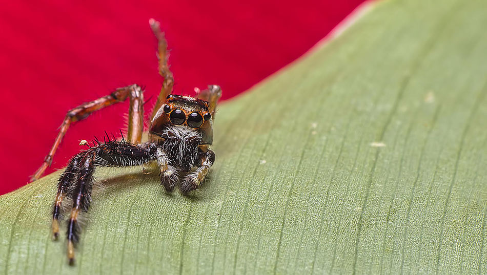 Macro shot of an injured jumping spider on a leaf with red background Wild Life Photograph Amputation Animal Themes Animal Wildlife Animals In The Wild Backgrounds Close-up Day Insect Jumping Spider Leaf Mammal Nature No People One Animal Outdoors Spider Wild Life