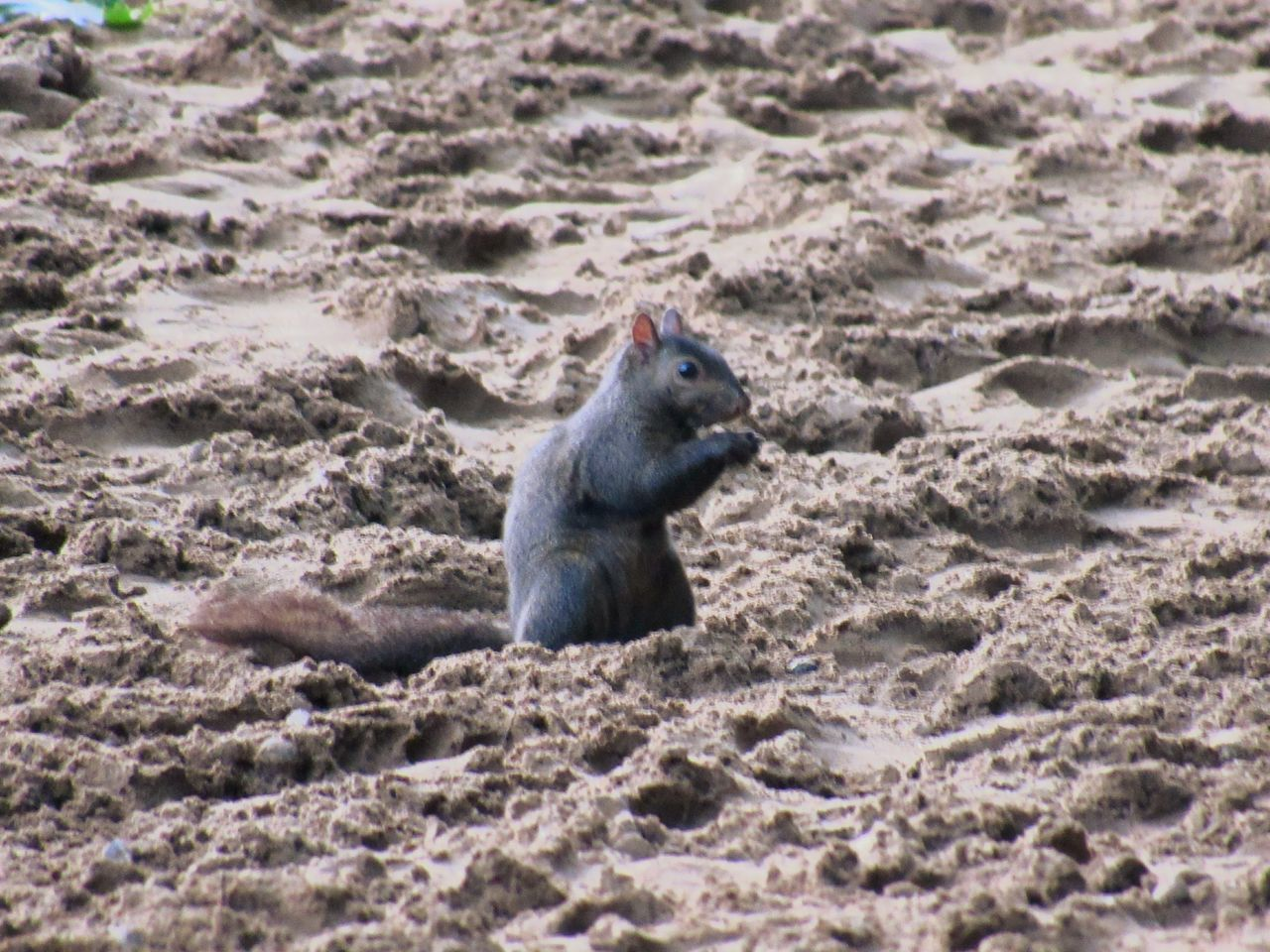 one animal, animal themes, mammal, no people, day, animals in the wild, sand, nature, outdoors, close-up