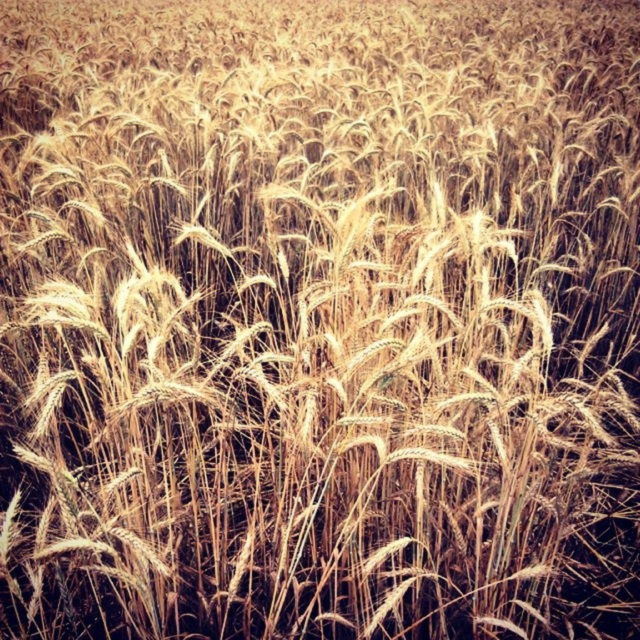 Full Frame Shot Of Wheat In Field