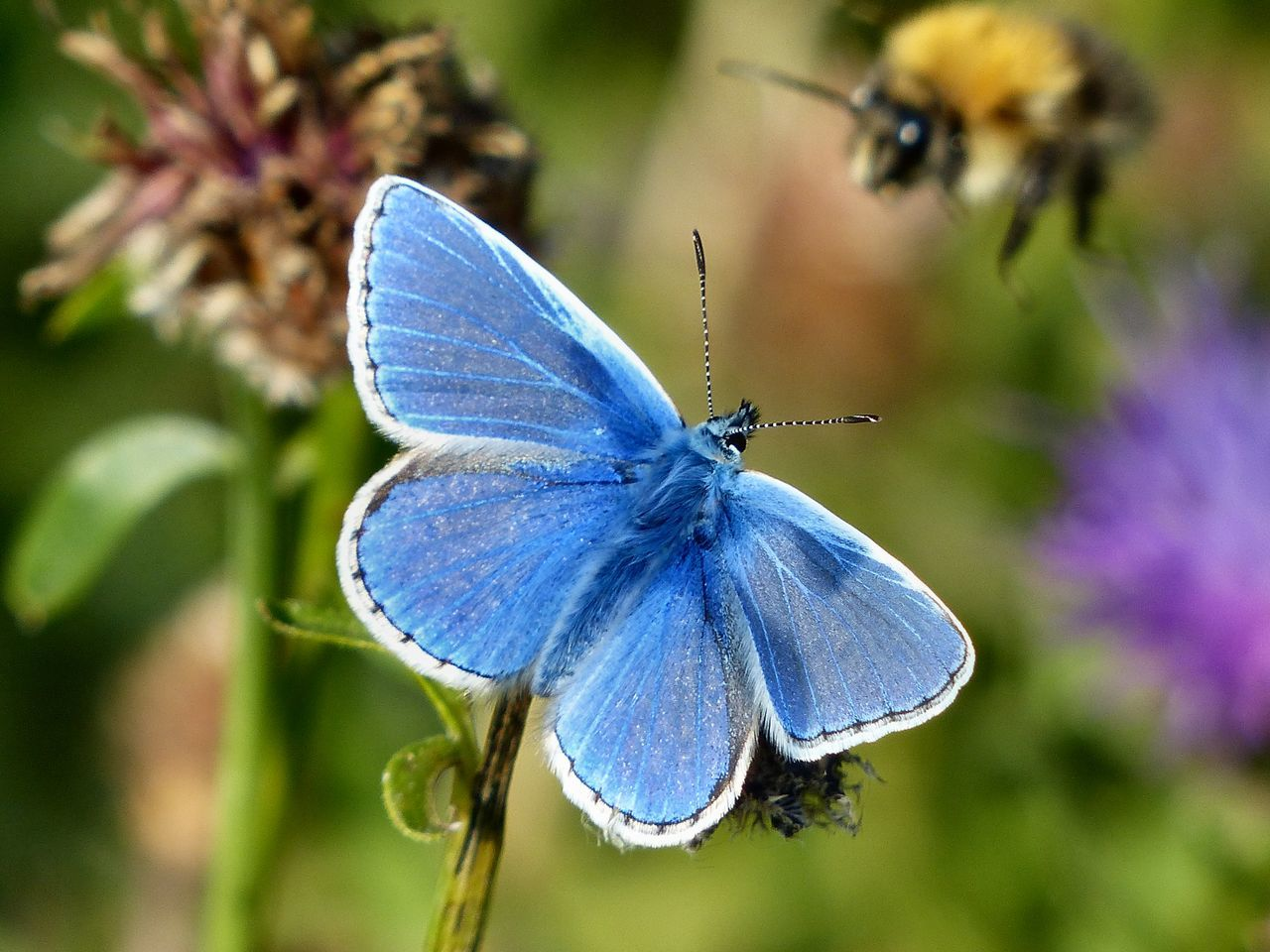 A Common Blue butterfly is watching a bumble bee approach, on a warm August afternoon on the South Downs north of Hove, East Sussex - 2016. Bee Brighton Bumble Bee Common Blue Common Blue Butterfly East Sussex England England🇬🇧 Hove South Downs South Downs National Park
