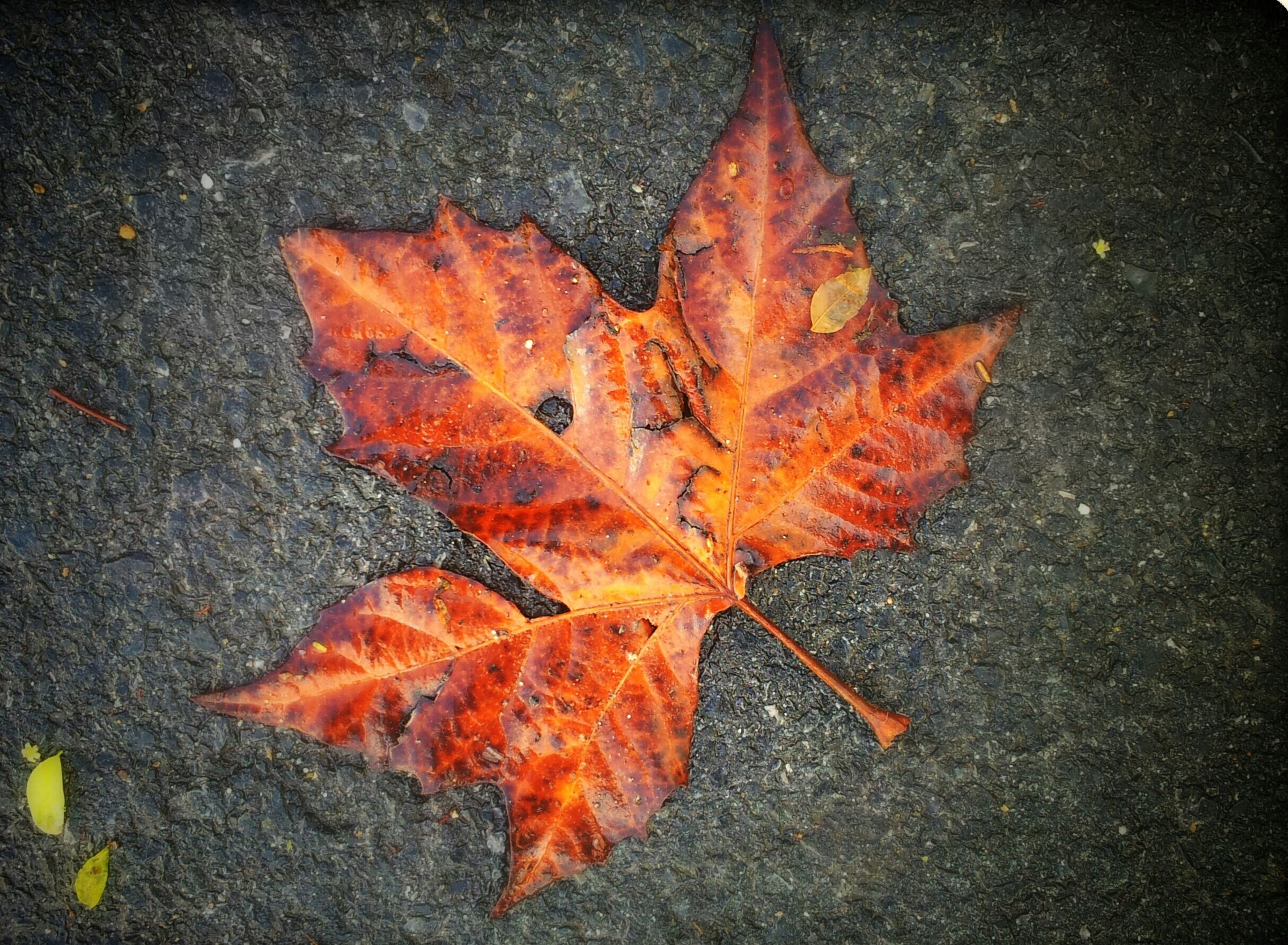 autumn, change, leaf, season, dry, leaves, maple leaf, orange color, fallen, leaf vein, close-up, natural pattern, high angle view, natural condition, nature, aging process, street, ground, outdoors, day
