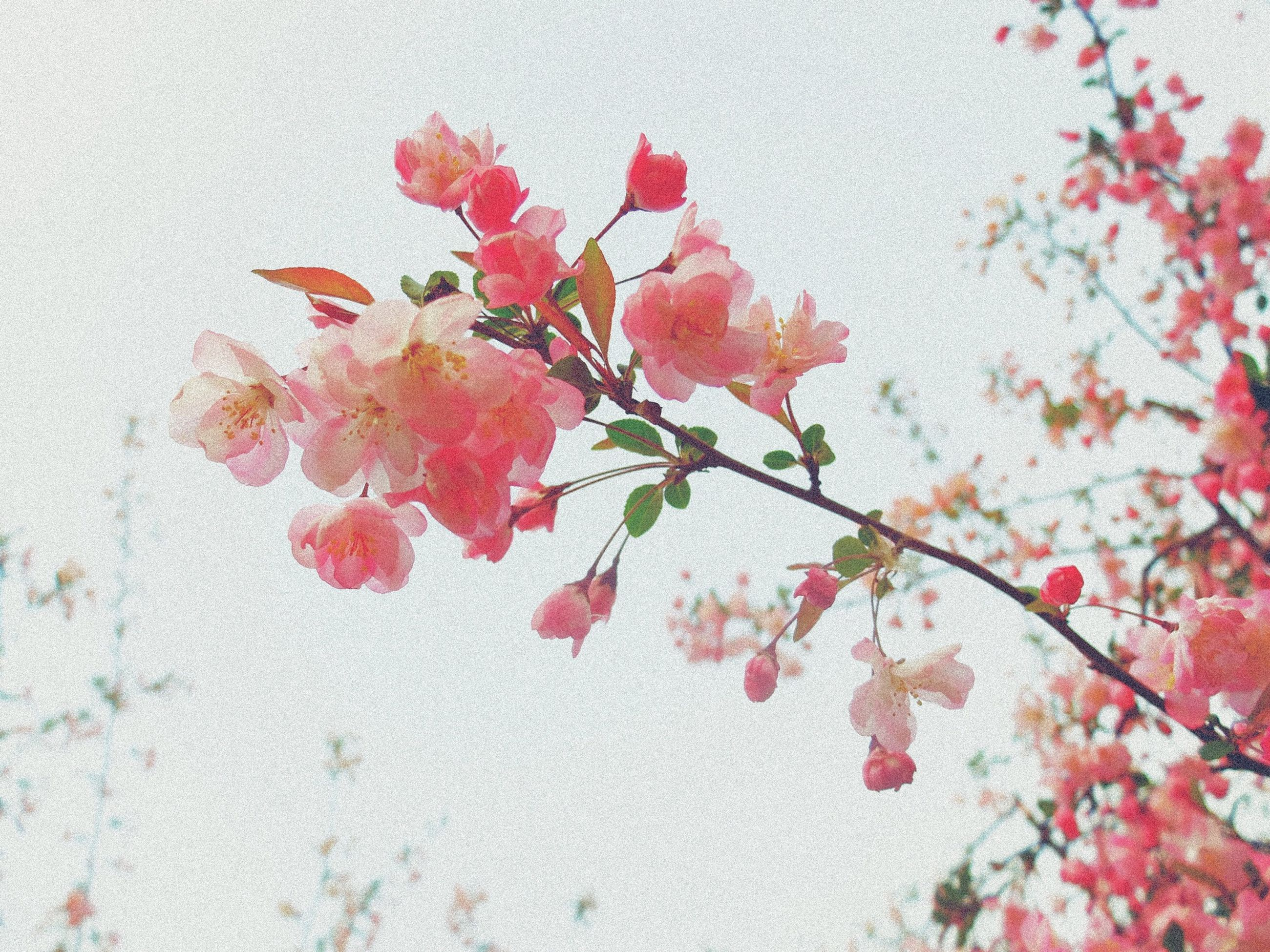 red, flower, growth, branch, freshness, nature, leaf, fragility, beauty in nature, clear sky, plant, tree, season, low angle view, pink color, wall - building feature, day, close-up, twig, no people
