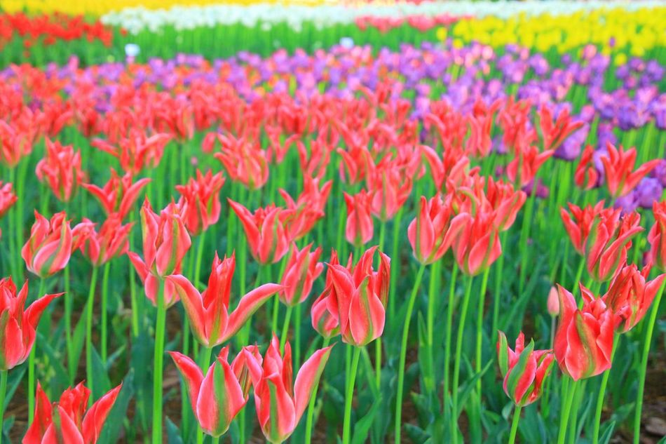 Flower Growth Plant Nature Field Petal Freshness Beauty In Nature Fragility Flowerbed Flower Head Outdoors Day Poppy Red No People Blooming Springtime Leaf Landscape