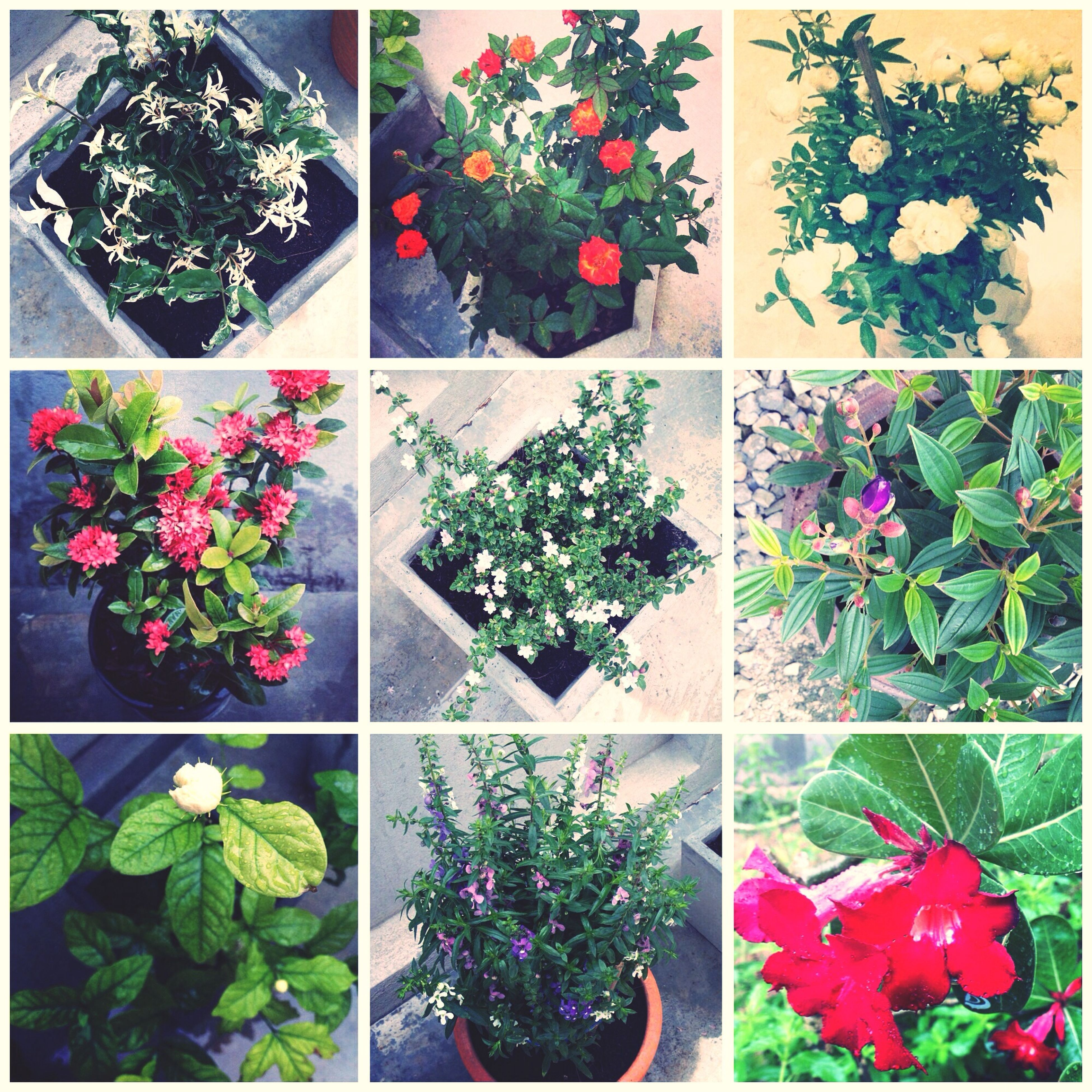growth, plant, leaf, flower, potted plant, transfer print, green color, red, nature, auto post production filter, freshness, green, beauty in nature, window, flower pot, day, tree, indoors, no people