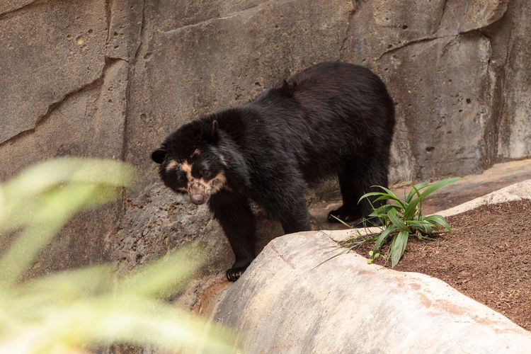 Andean bear Tremarctos ornatus is found in the Andes of South America Andean Bear Animal Themes Animal Wildlife Animals In The Wild Bear Close-up Day Mammal Nature No People One Animal Outdoors Piebald Tremarctos Ornatus