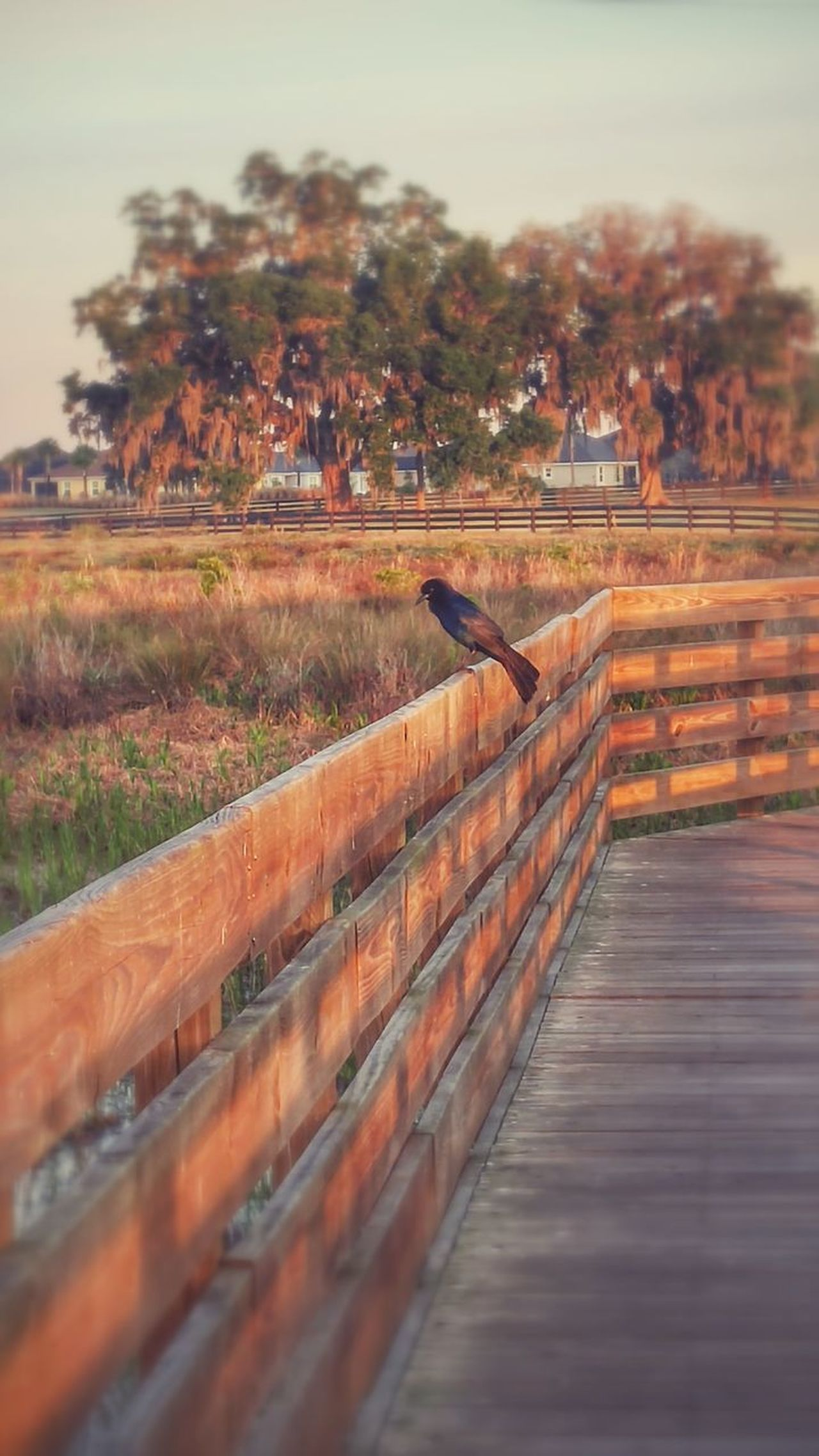 My sunrise compainion. Landscape Outdoors No People Nature Birds Lone Bird Wooden Walkway Sunrise Warm Light Black Bird Solice Florida The Villages Florida Nature Preserve Peace Messanger Blurred Background Willows Wood