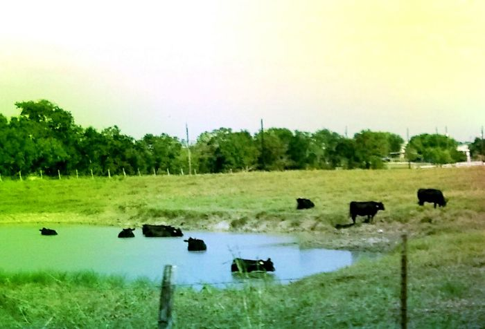 Summertime In NEW Braunfels Sunbathing Hanging Out Cows At Theirbeach Water Grass Animal Themes Nature