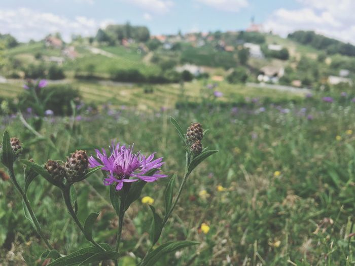 Flower Nature Focus On Foreground Growth Plant Field No People Day Beauty In Nature Outdoors Purple Slovenia Grass Green