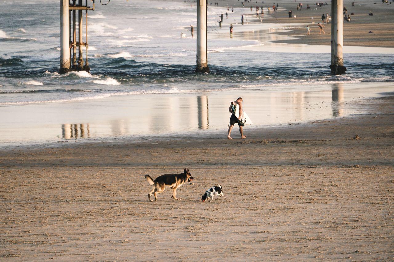 Beautiful stock photos of german shepherd, Animal Themes, Australia, Beach, Day
