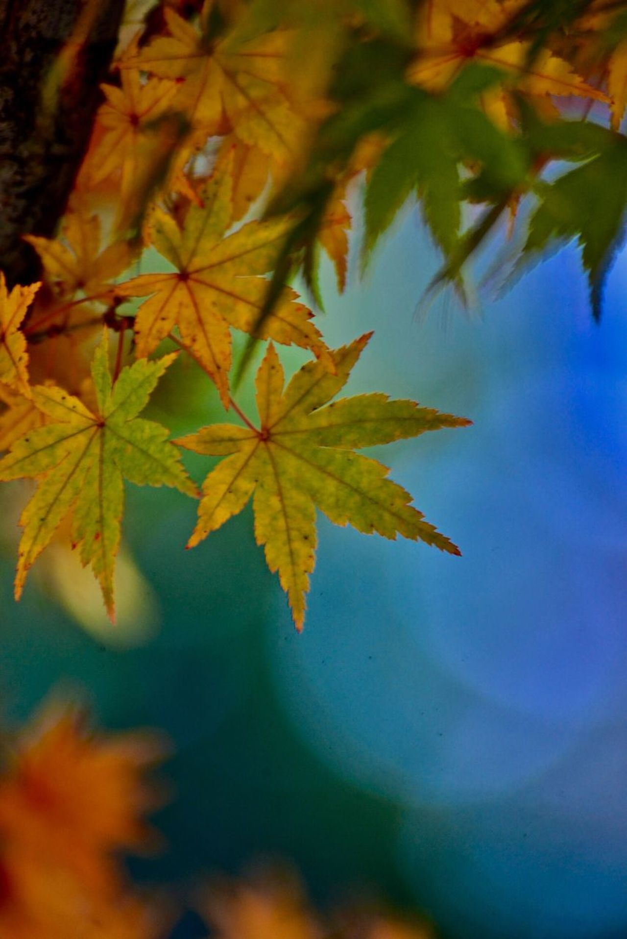 Design Maple Autumn Colors Nature Light Leaves Maple Leaf Leaf Pastel パステルカラー🍁 ✨