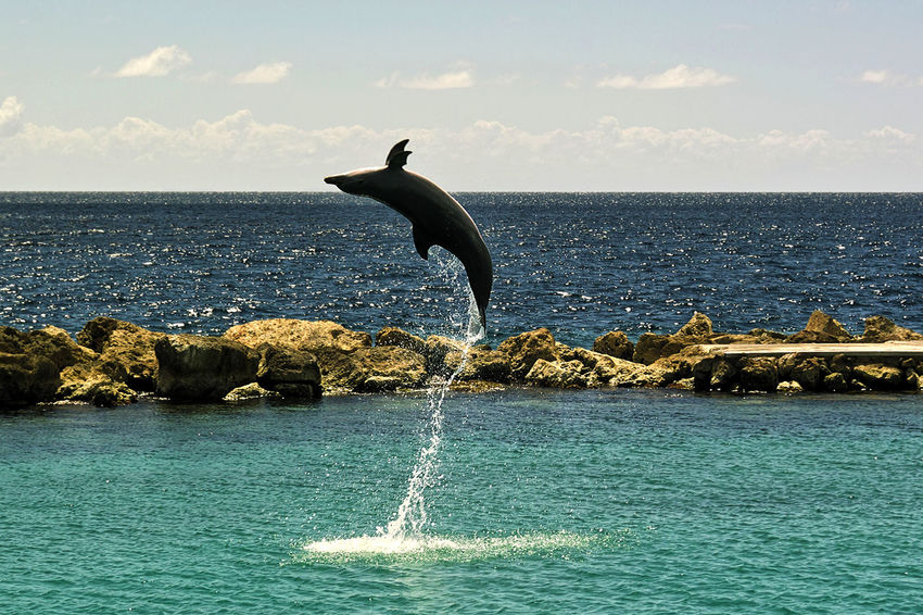 The dolphin show in Curaçao' Sea Aquarium Animal Themes Animal Wildlife Animals In The Wild Beauty In Nature Day Dolphin Dolphin Show  Dolphin Watching  Horizon Over Water Nature No People One Animal Outdoors Perching Scenics Sea Sky Water