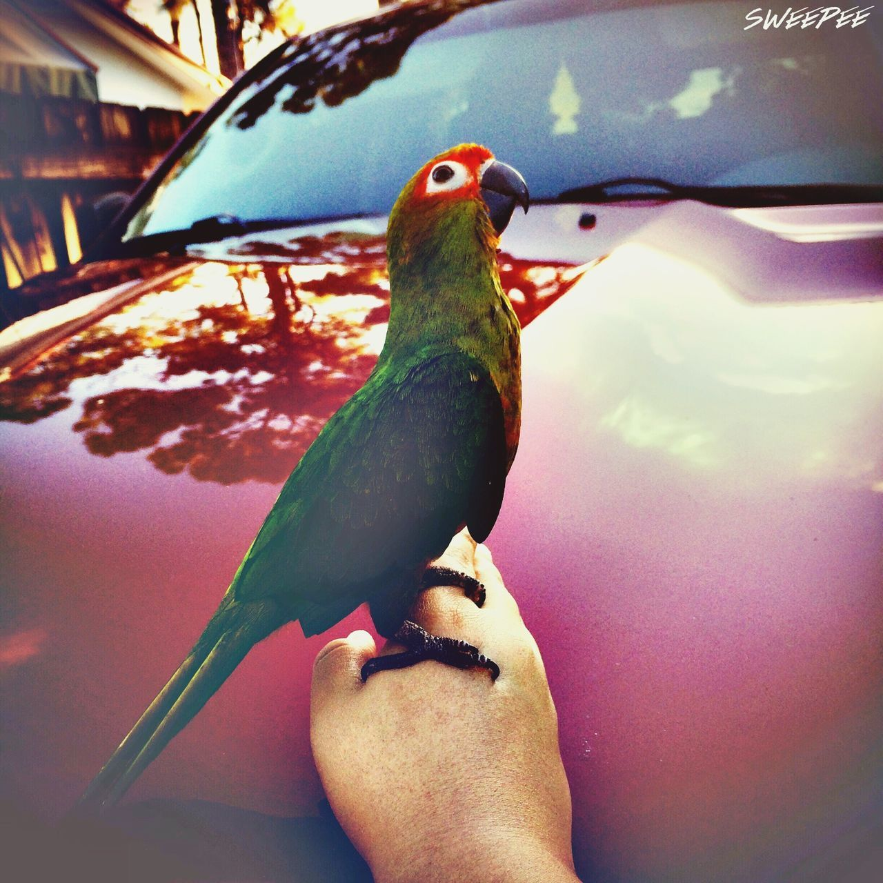 animal themes, bird, animals in the wild, human hand, one animal, perching, human body part, animal wildlife, outdoors, day, nature, close-up, one person