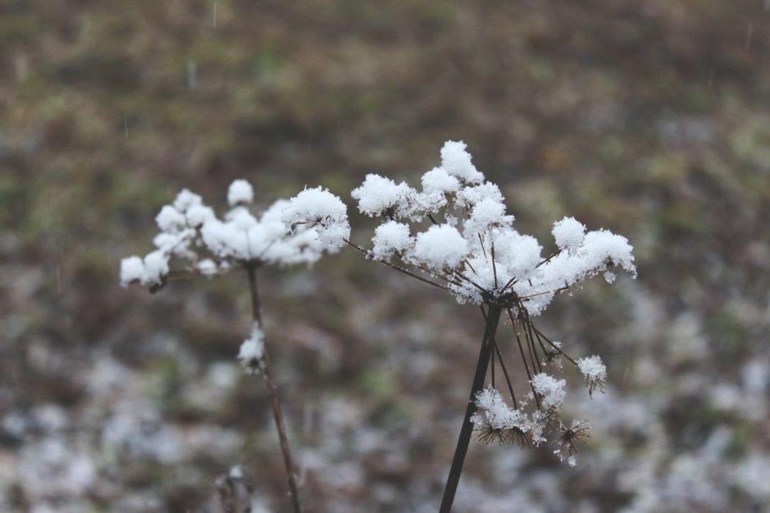 Snow Flowers Dry Flower  Dry Herbs Flower In Snow EyeEm Nature Lover