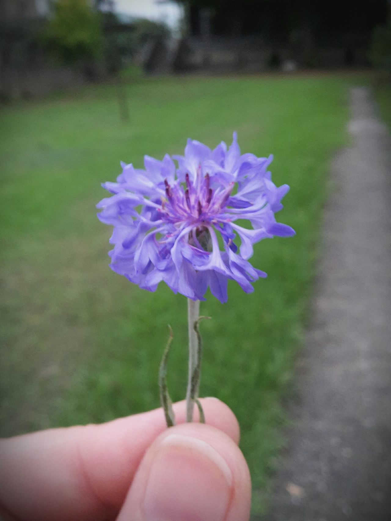 Close-up Day Flower Flower Head Focus On Foreground Fragility Freshness Holding Human Body Part Human Finger Human Hand Lifestyles Nature One Person Outdoors Personal Perspective Purple Real People Unrecognizable Person