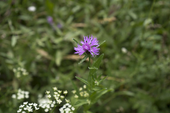 Beauty In Nature Blooming Blossom Blume Botany Close-up Flower Flower Head Fragility Freshness Green Color Grün In Bloom Kornblume Natur Nature Nature_collection Outdoors Plant Purple Selective Focus