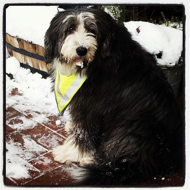 Dog Flower Sklfamily Bearded Collie