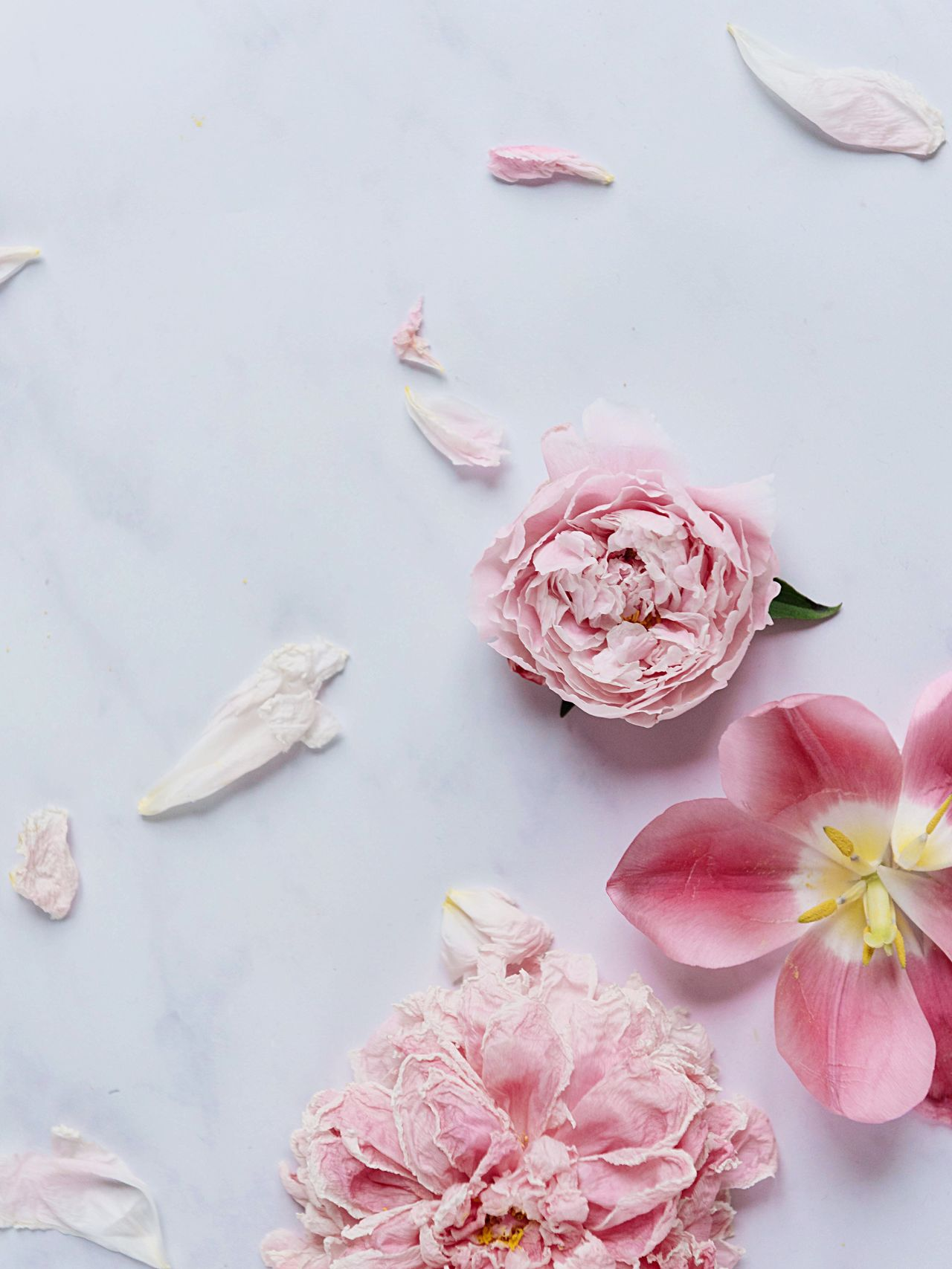 Flower Table Petal Rose - Flower Peony  Peony Flower High Angle View Pink Color Fragility Freshness Flower Head Beauty In Nature No People Nature Close-up Marble Table Marble Summer Faded Beauty Petals On The Table Flower Mess Faded Flower Heads Flower Head Close-up Selective Focus