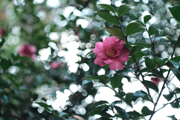 『16:19:11』 2016-12-02 Flower Nature Growth Beauty In Nature Plant No People Petal Leaf Red Fragility Outdoors Pink Color Close-up Freshness Day Flower Head Tree