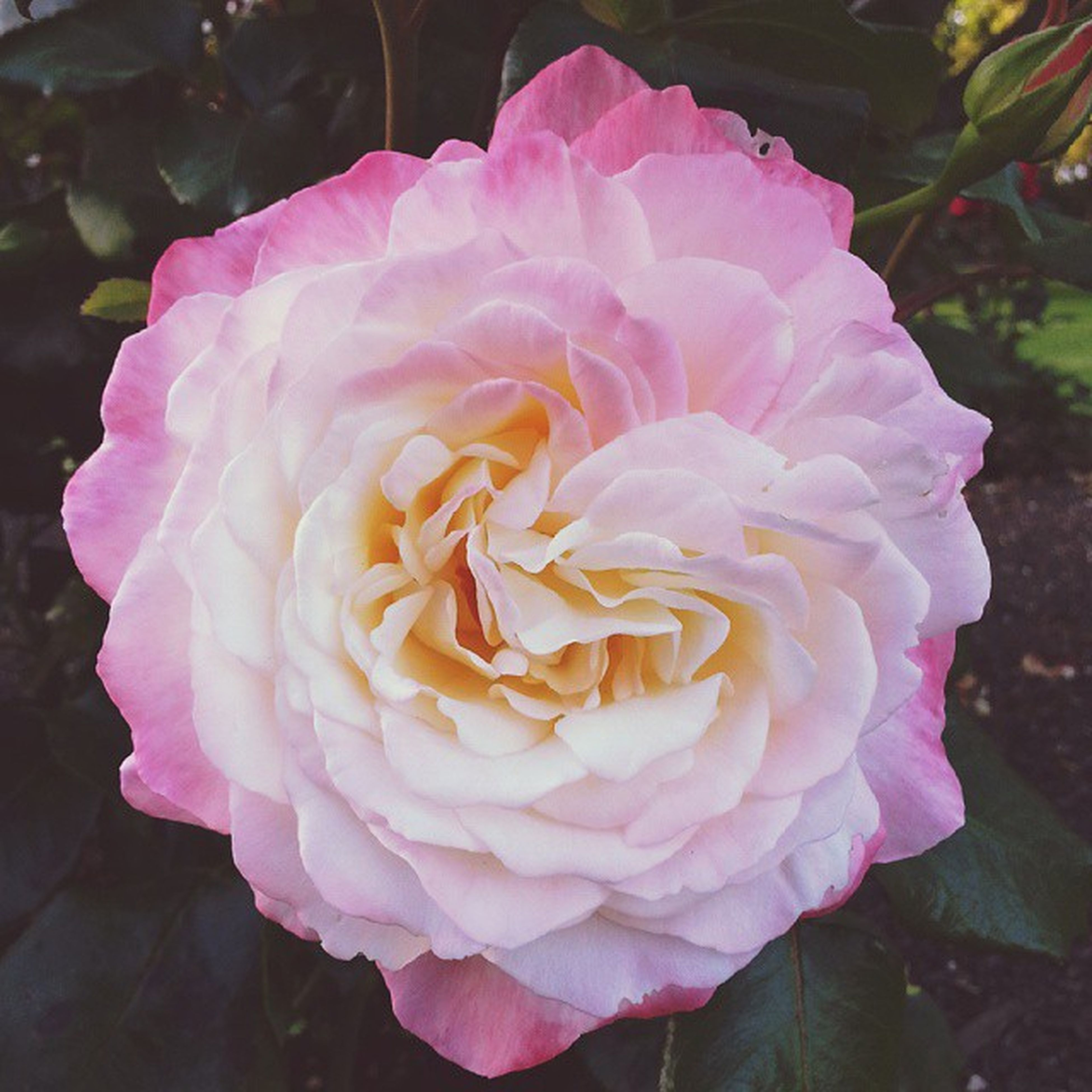 flower, petal, flower head, freshness, fragility, beauty in nature, close-up, rose - flower, growth, single flower, pink color, blooming, nature, focus on foreground, in bloom, plant, high angle view, outdoors, blossom, day