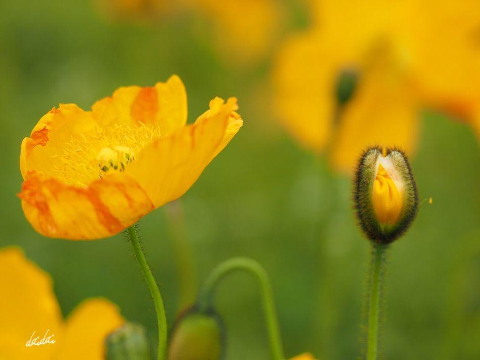世代交代 フルサイズの一眼が欲しくなってきたよ。。。 E-PL3 Flower 花 ポピー Poppy Beauty In Nature 蕾 Bokeh Fukuokadeeps 海の中道海浜公園 Noedit