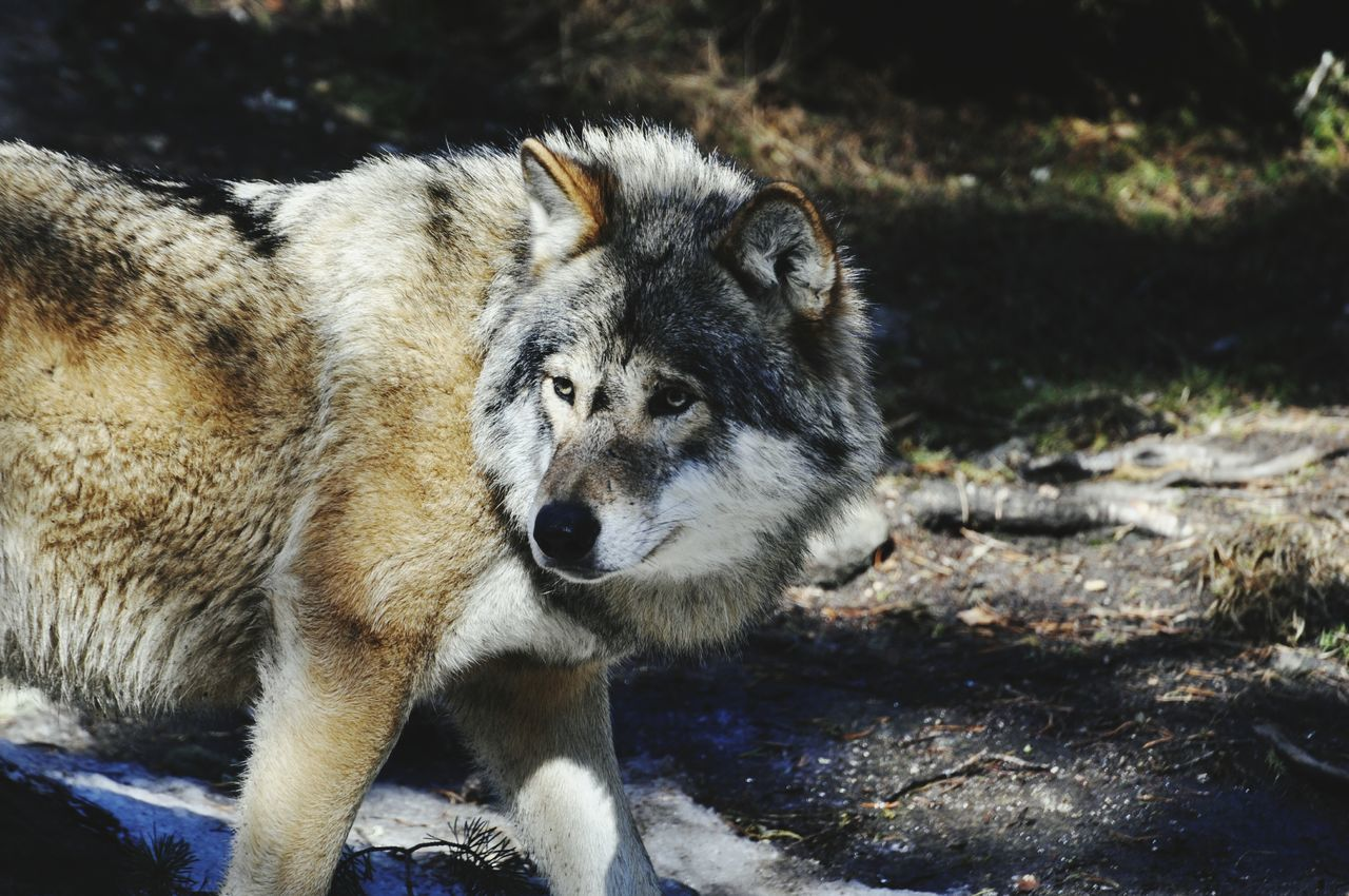 Beautiful stock photos of wolf, Animal Themes, Animals In The Wild, Day, Forest