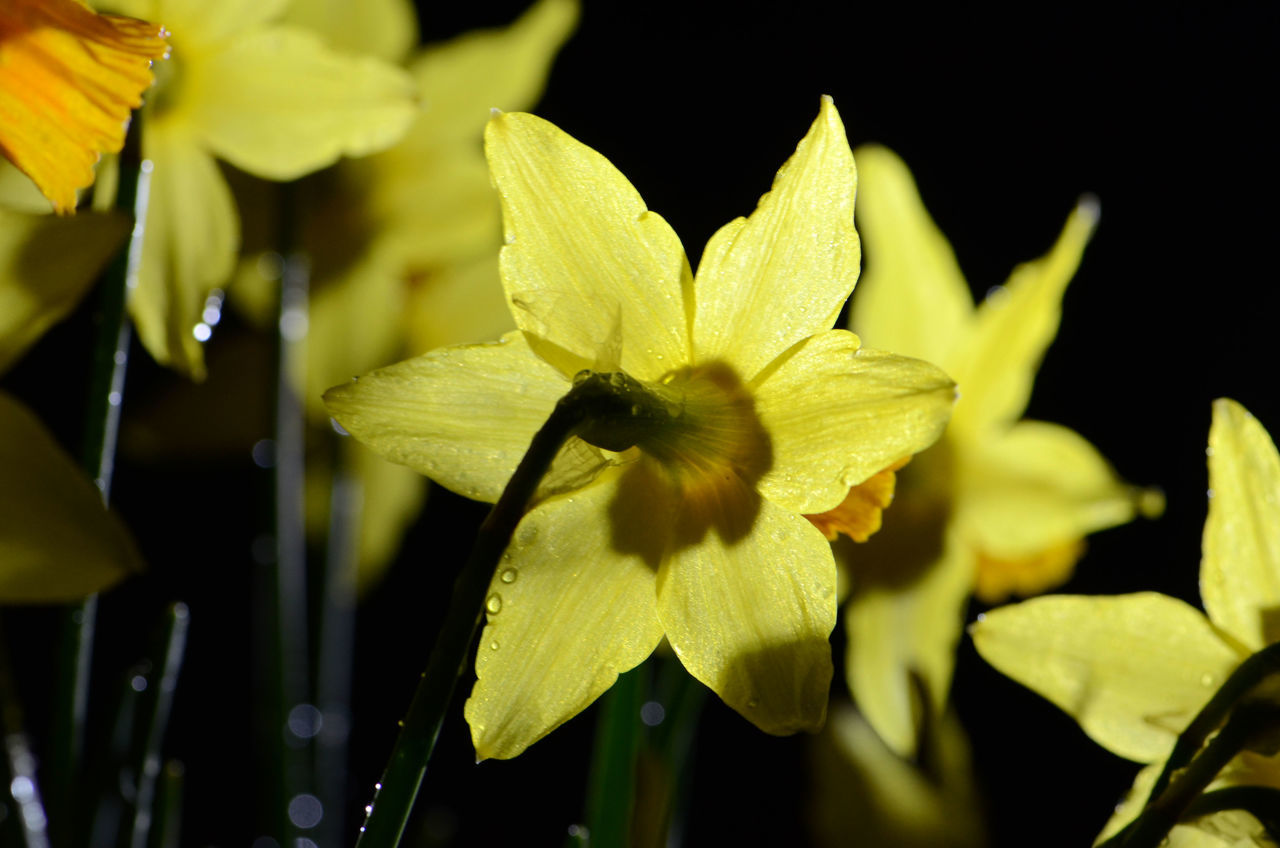Blooming Close-up Daffodils Flower Flower Head Freshness Petal Plant Spring Flowers
