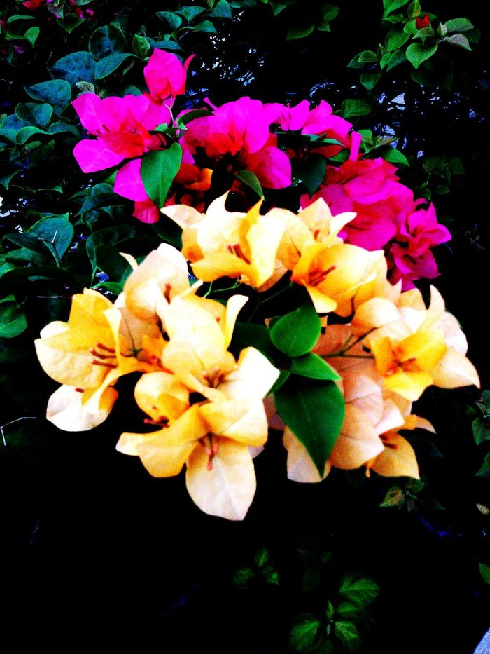 Flower : Close-up Plant Bunch Of Flowers Multi Colored Freshness Day Yellow Beauty In Nature Pink Color ,Taling Chan Thailand.