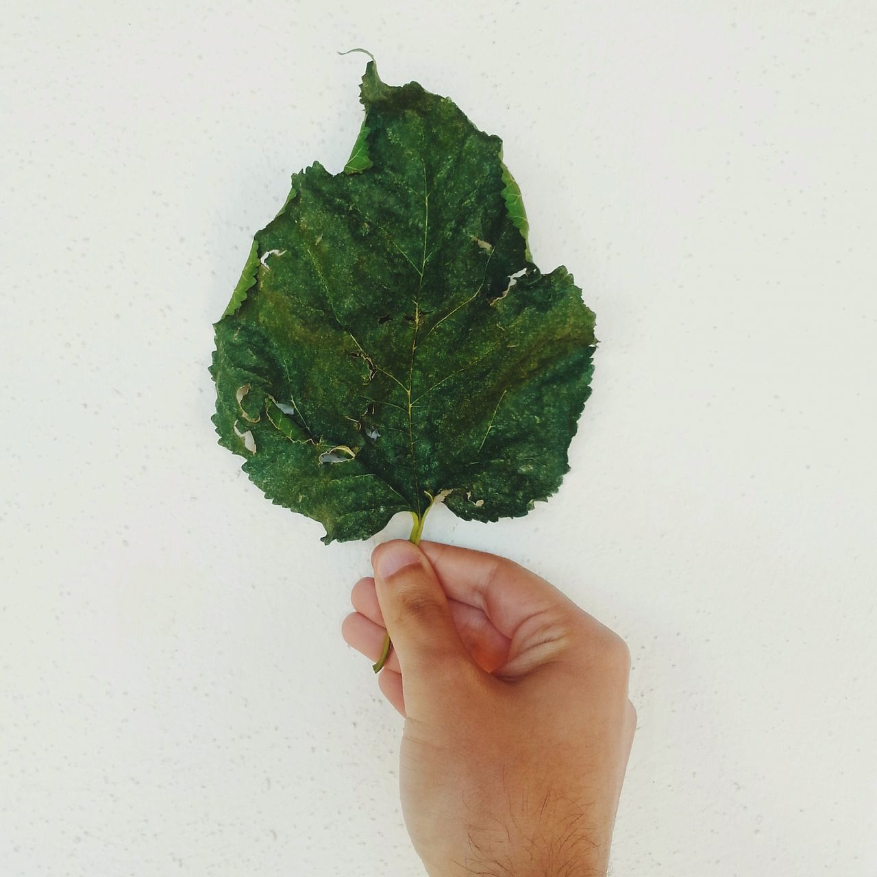 Beautiful stock photos of leaf, Directly Above, Green, Holding, Human Hand