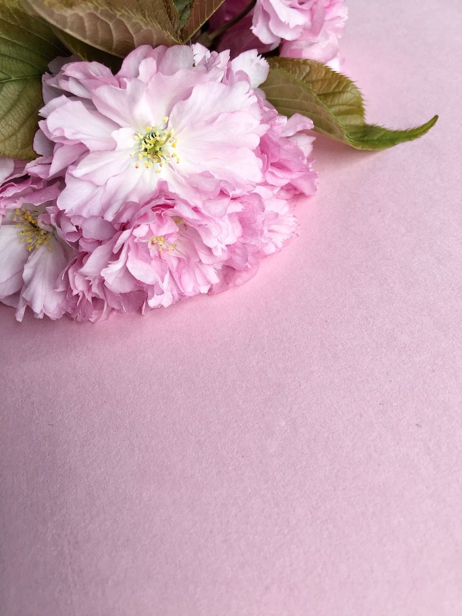 Time for my flower obsession... Pink Color Beauty In Nature No People Close-up Copy Space Pink Pink Flower Cherry Blossoms Cherry Blossom Spring Into Spring Spring Has Arrived Blooming