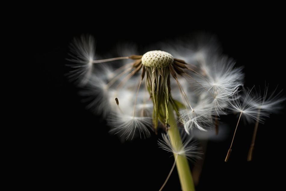 Beautiful stock photos of macro, Beauty In Nature, Black Background, Close-Up, Dandelion