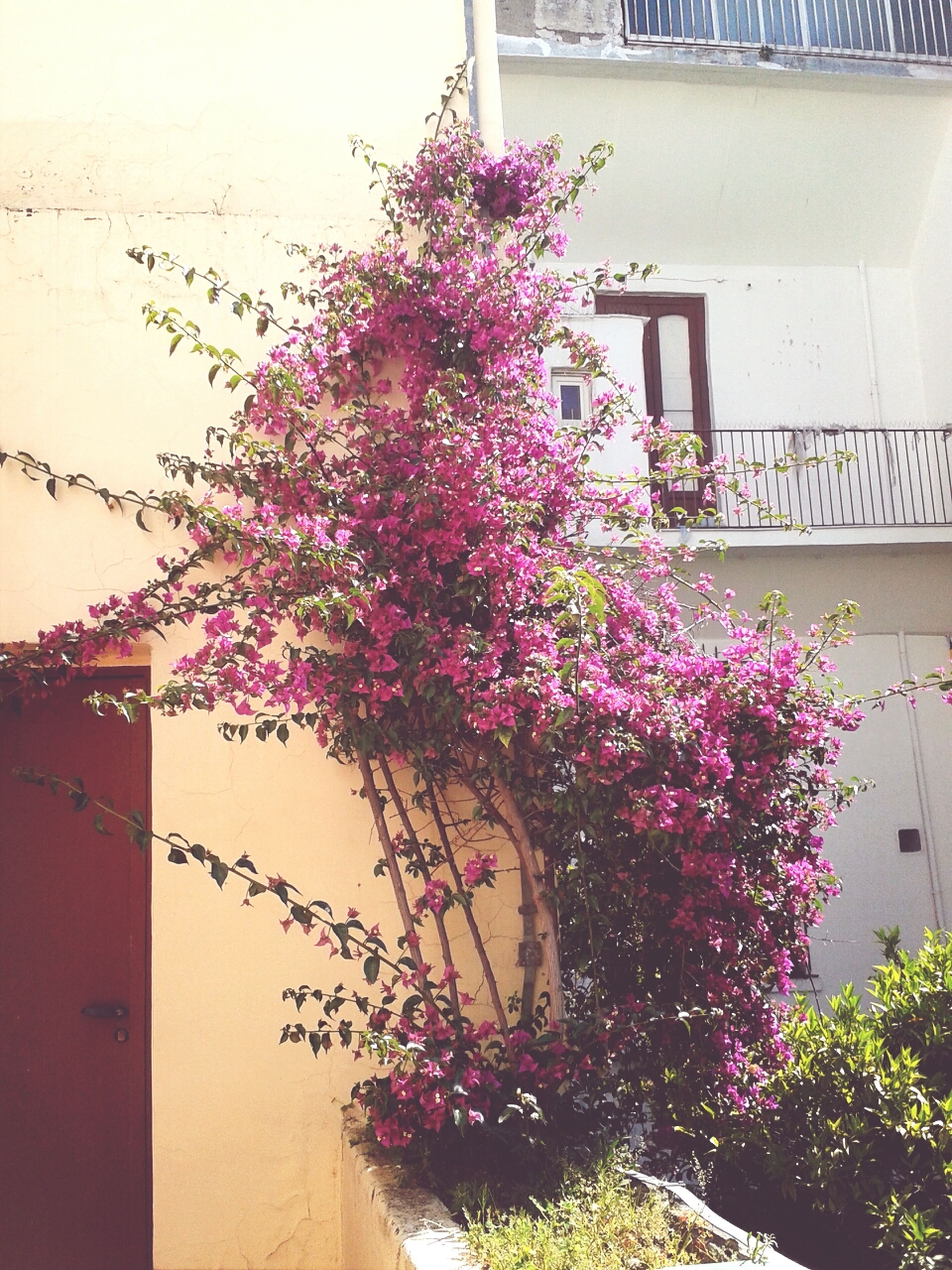 flower, building exterior, architecture, built structure, growth, plant, house, freshness, pink color, potted plant, tree, fragility, low angle view, nature, wall - building feature, residential structure, beauty in nature, residential building, window, in bloom