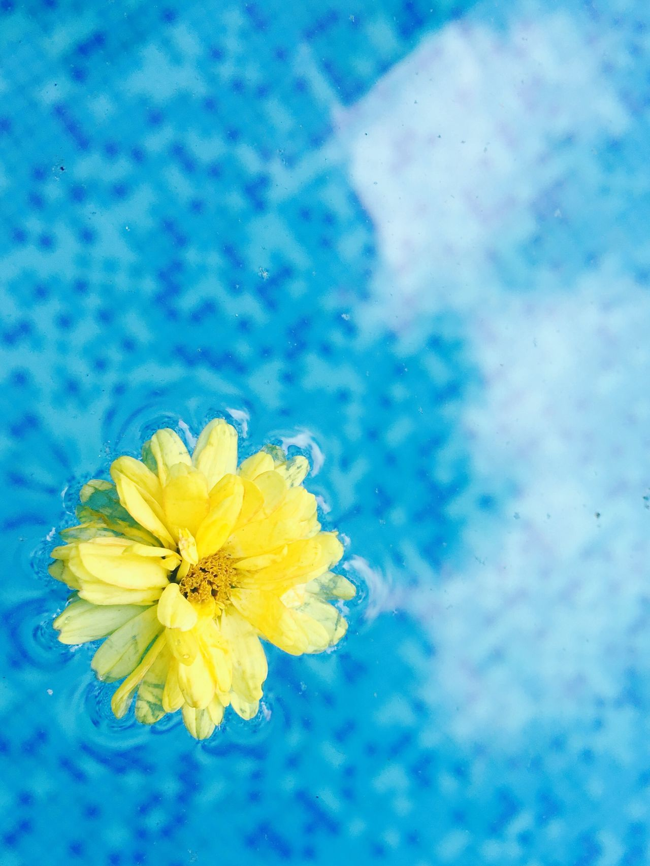Flower Fragility Freshness Nature Beauty In Nature Petal Flower Head Blue Yellow Close-up No People Springtime Growth Outdoors Day Water Pool
