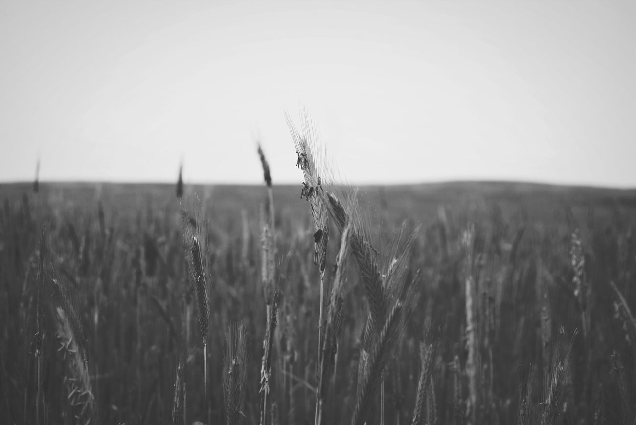 Nature Landscape Farm Outdoors Agriculture Plant Sky Beauty In Nature Light Adventure Sleepwalker Blackandwhite Photography Grey And White Vintage Grunge Style Tumblr Photography Photo EyeEmNewHere Summer Focus