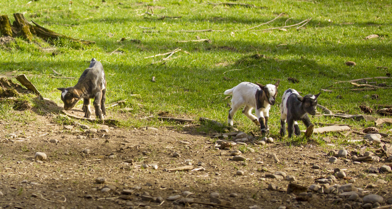 Animal Themes Baby Goat Beauty In Nature Children Cute Day Domestic Animals Farm Field Goatling Goats Green Color Happy Happyplace Herbivorous Jumping Livestock Love Mammal Nature Newborn Outdoors Pets Playing Zoology