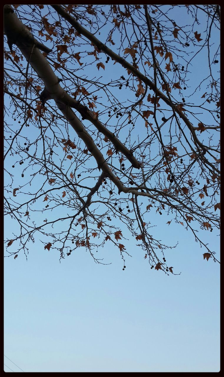 tree, nature, beauty in nature, branch, low angle view, clear sky, growth, flower, day, outdoors, no people, sky, tranquility, fragility, freshness