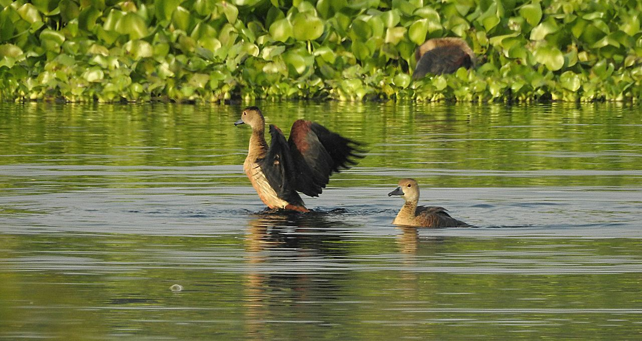 Lesser Whistling ducks Bird Lake Water Animal Wildlife Animals In The Wild Nature Day Outdoors Water Bird No People Beauty In Nature Beauty In Nature Green Color Birds🐦⛅ Nature Birdwatching Leaf Birds In Wild Birds Of EyeEm  Full Frame Bird Watching Beak Birdhouse Forest Birds Of EyeEm