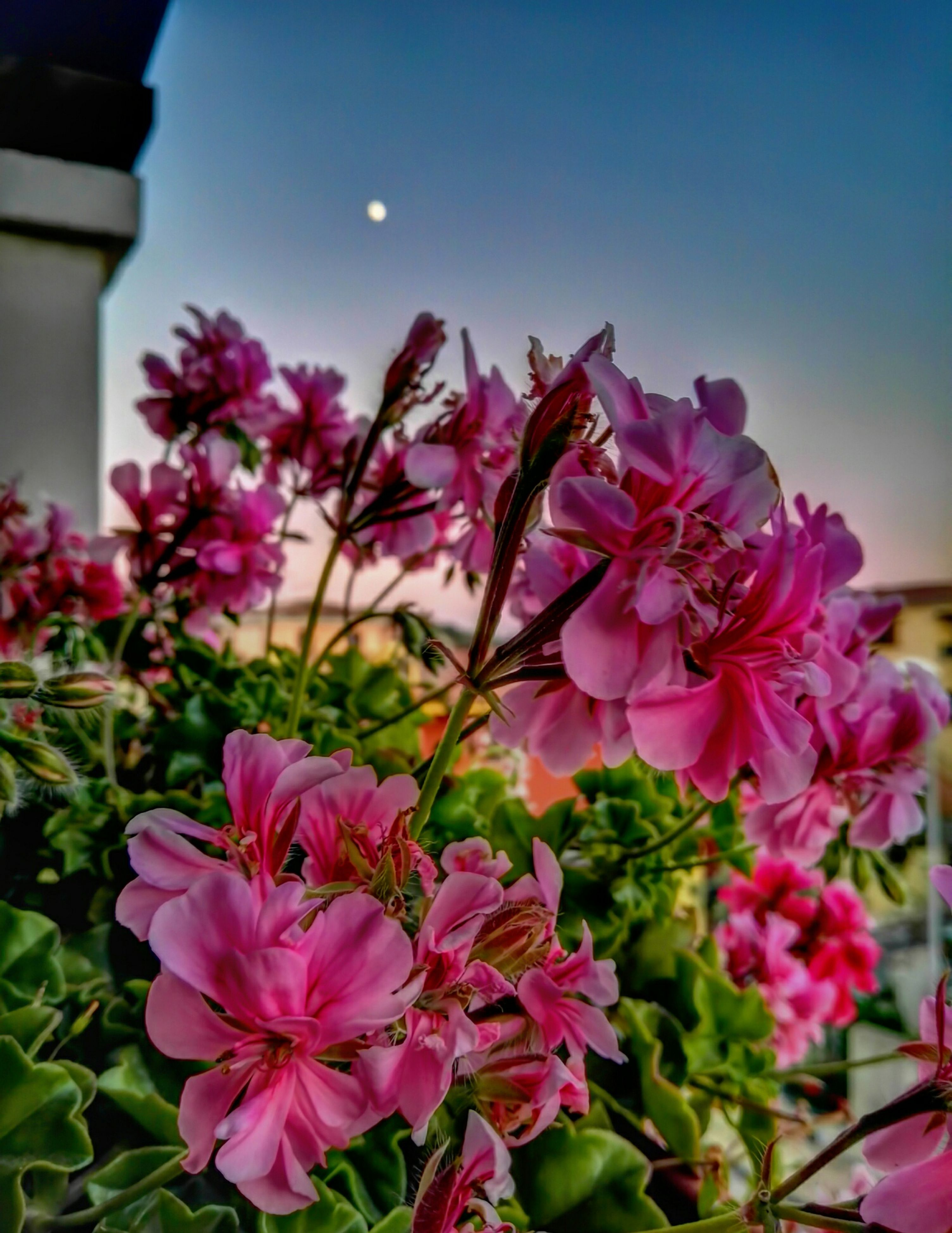 flower, pink color, nature, beauty in nature, growth, fragility, petal, no people, freshness, outdoors, clear sky, blooming, close-up, flower head, day, architecture, sky