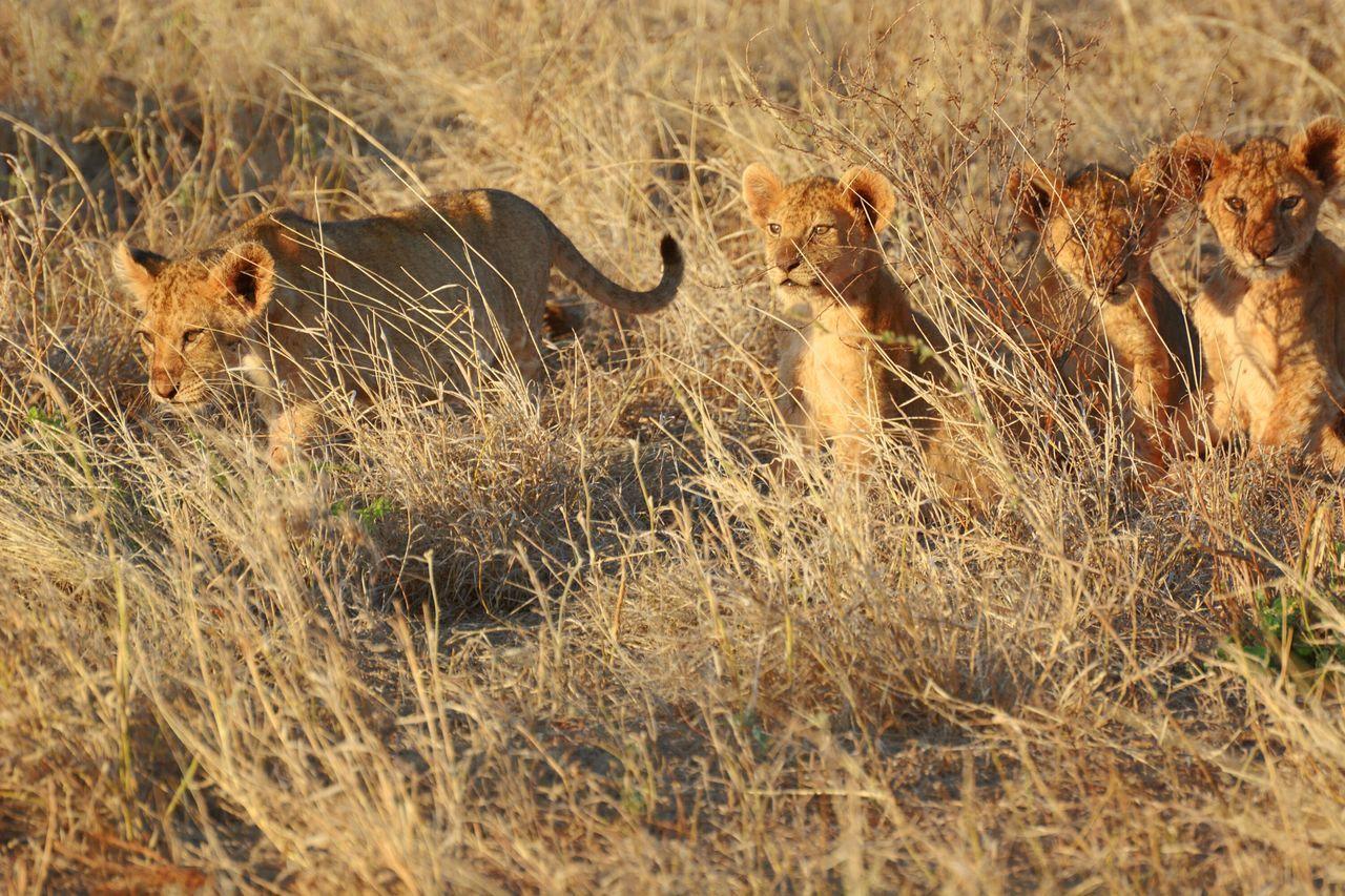 Animal Wildlife Animals In The Wild Kenya Randomshot Tsavo King Of The Jungle Cubs