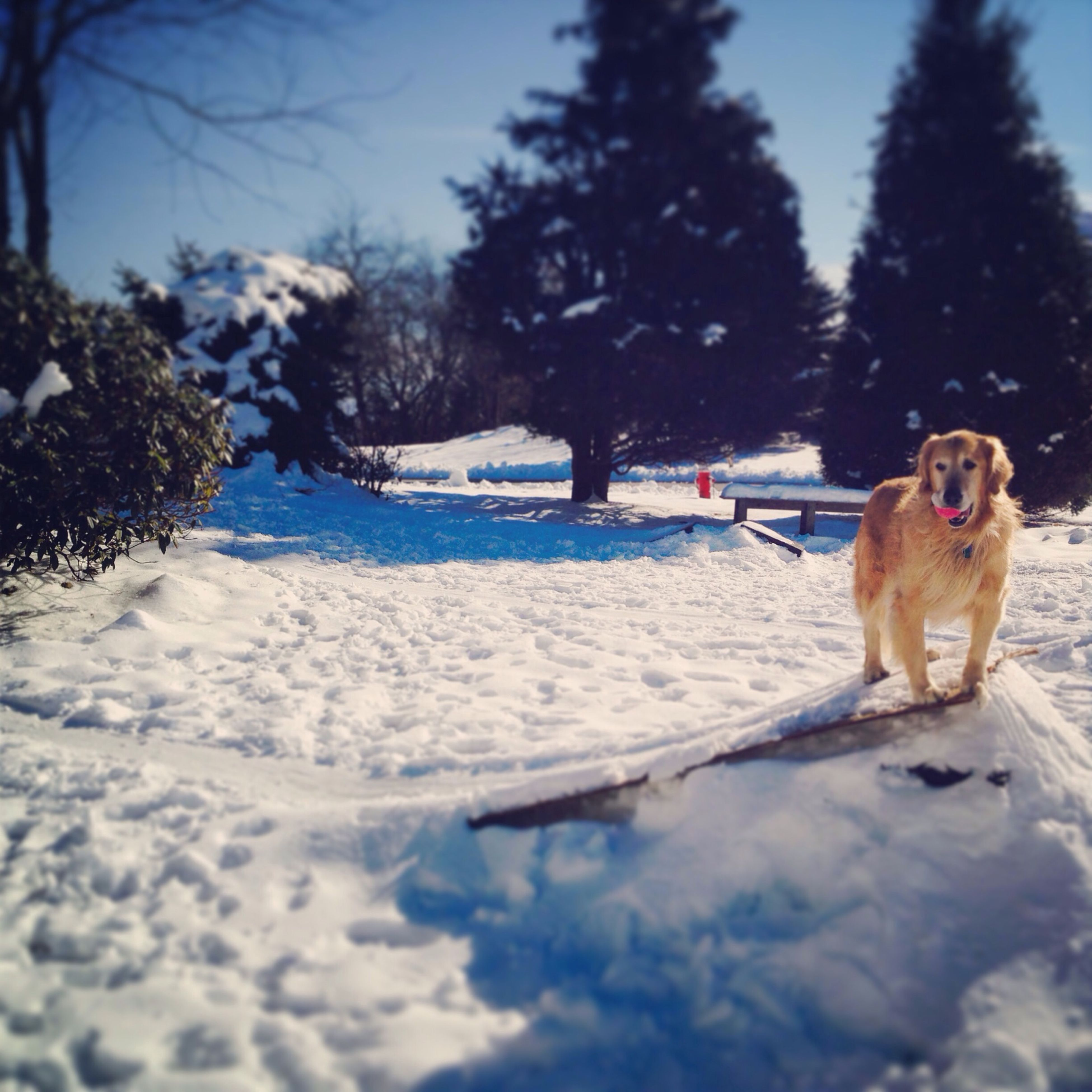 pets, domestic animals, snow, cold temperature, winter, dog, mammal, animal themes, one animal, season, weather, frozen, tree, white color, nature, full length, covering, day, outdoors, canine