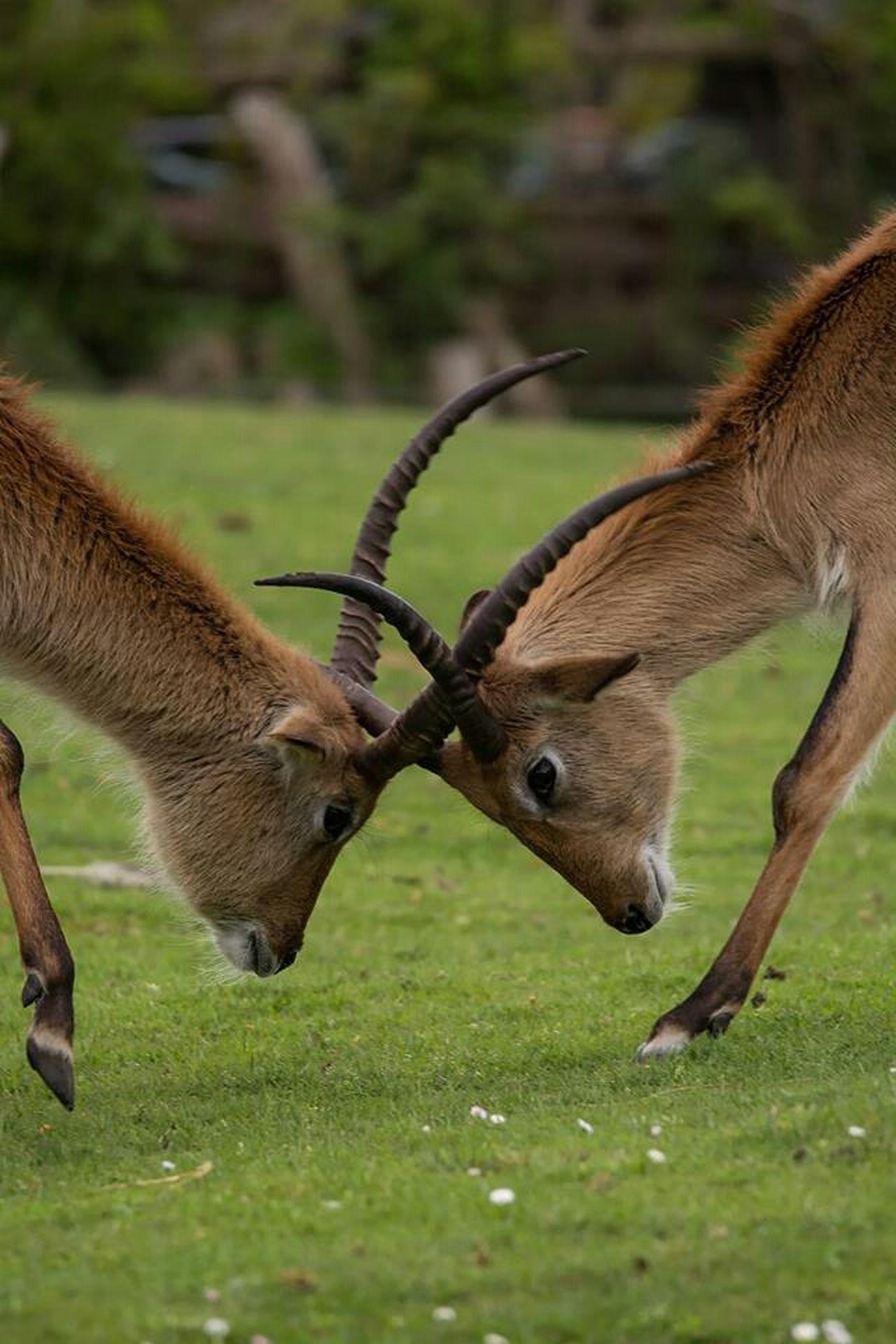 Cob De Thomas Kobus Antilope Antelope Animals Animaux Zoo France Gironde