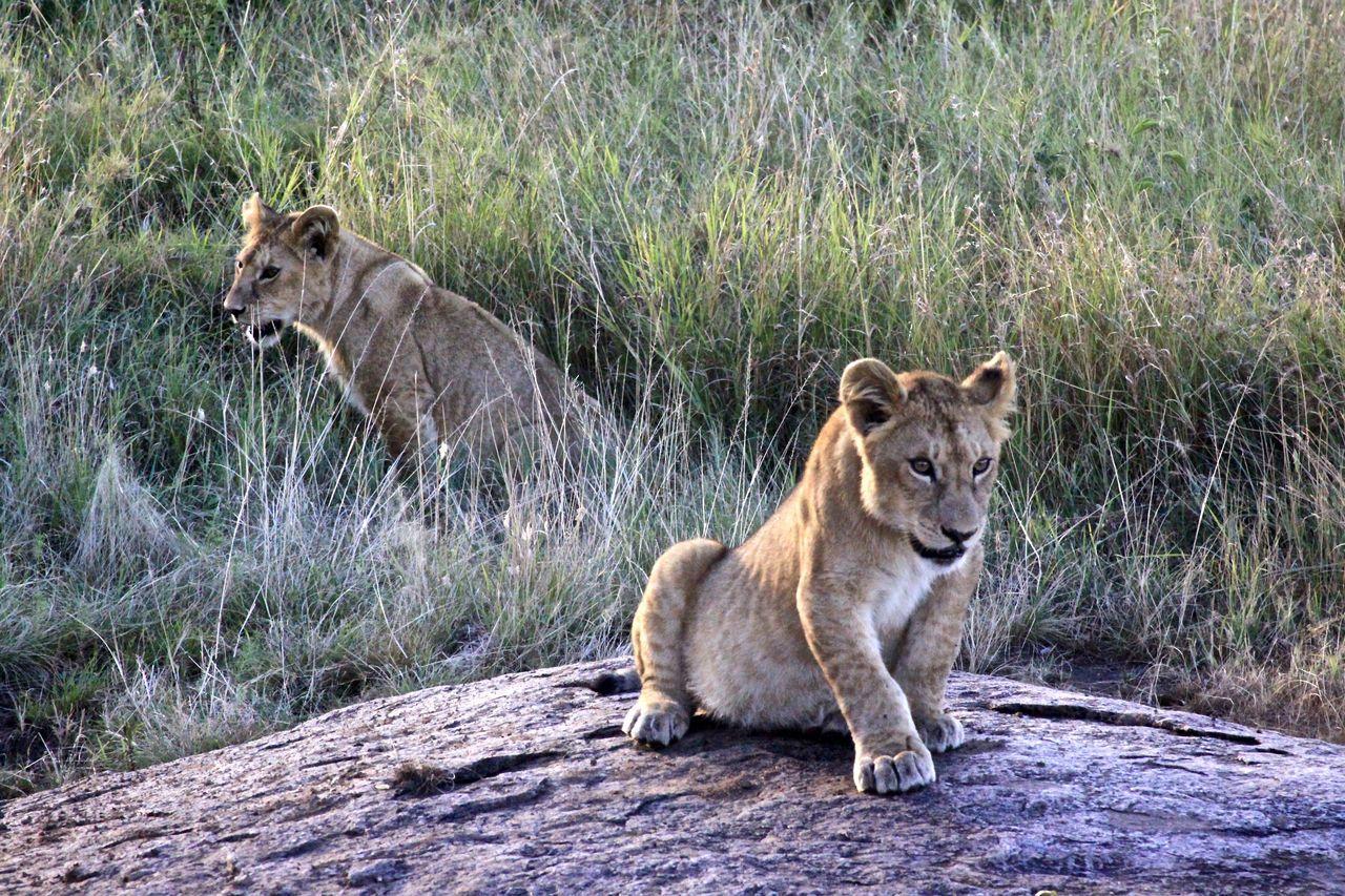Serengeti Cubs Africa Animal Wildlife Animals In The Wild Cubs  Explore ExploreEverything Grass Lion Cubs Lions Mammal Nature No People Outdoors Safari Serengeti Serengeti National Park Tanzania Travel Wildlife