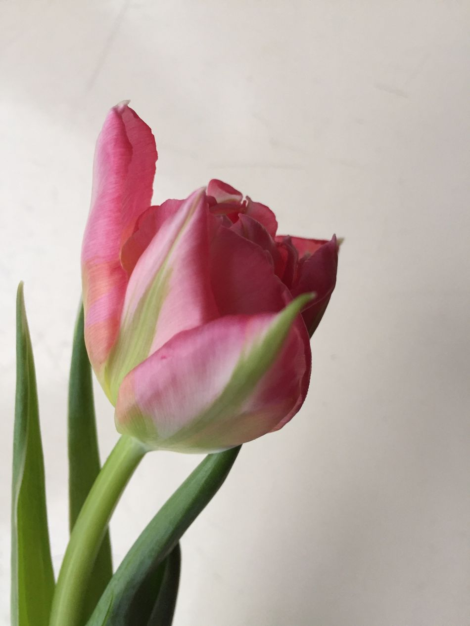 Pink Tulip Pink Close Up No People The Week On Eyem Showcase: January Iphotography Mobile Photography Flowers Pink In Nature Beautiful Nature Pastel Power Millennial Pink Mijn Foto