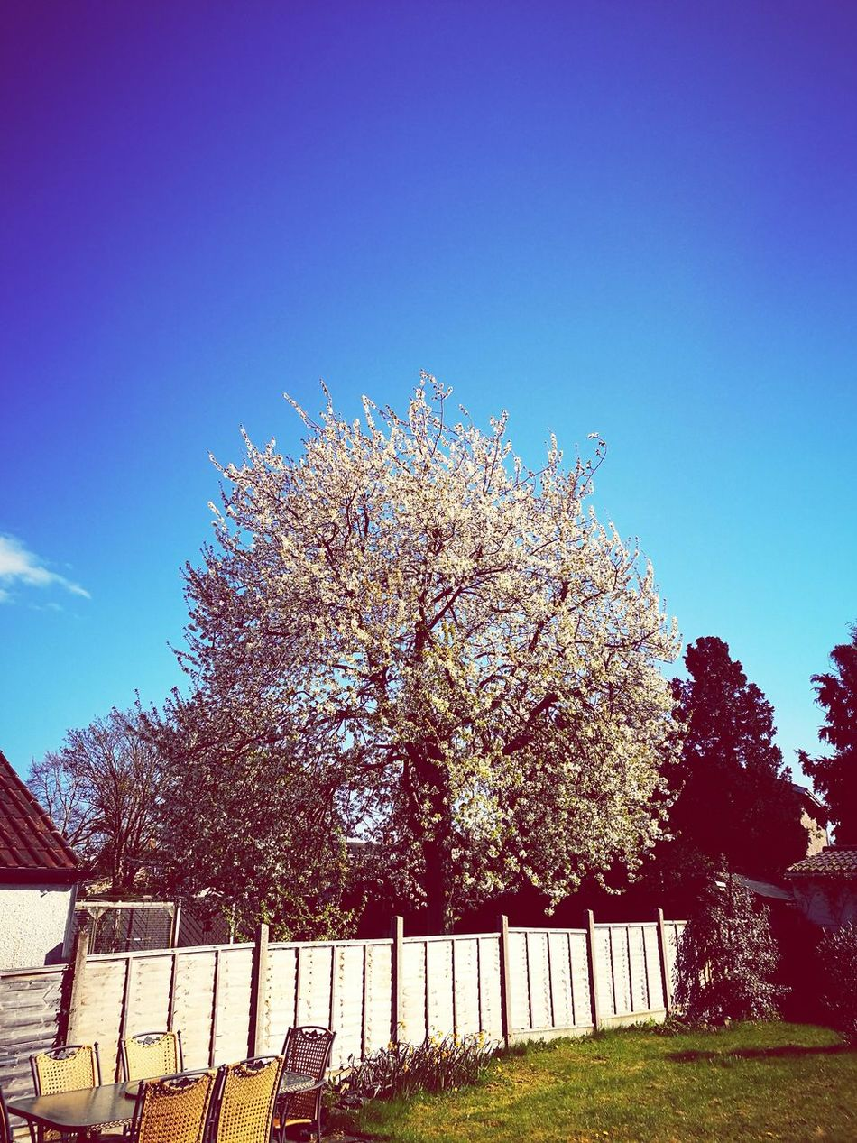Sky Tree Clear Sky Outdoors No People Day Garden Photography Garden Furniture Garden Fence Blossoming Tree Blossom Springtime Blue Sky
