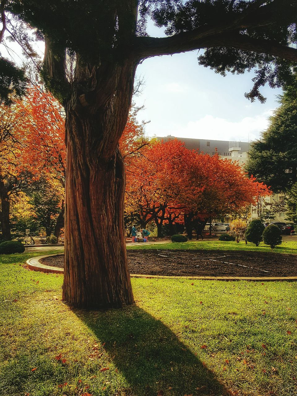 tree, autumn, tree trunk, nature, change, growth, grass, tranquility, beauty in nature, day, tranquil scene, outdoors, park - man made space, scenics, no people, leaf, landscape, sky, branch