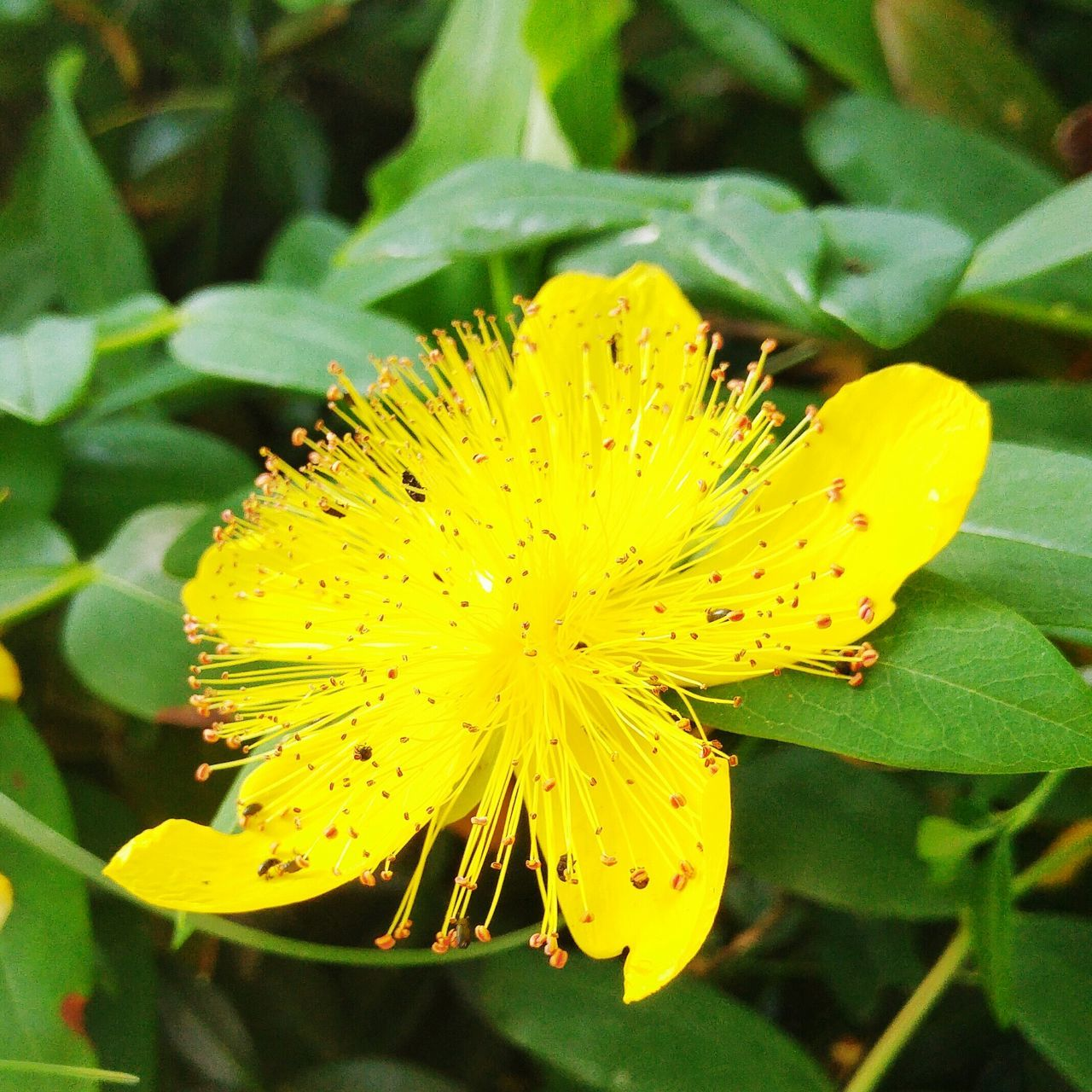 The OO Mission Blume Sun Yellow Flower Pixxart Nature Photographer Photography Flower